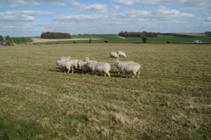 Sheeps sheeps everywhere!